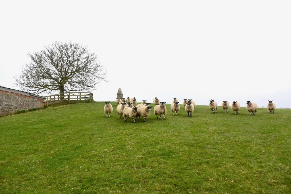 The route up to the King Alfred the Great monument at Athelney, Somerset Levels. Just me and the sheep.